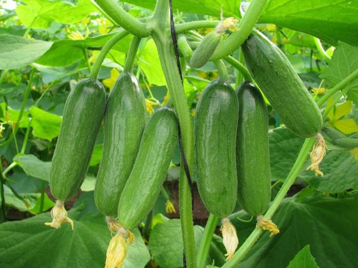 Орурцы довольно капризная культура, поэтому важно соблюдать все условия посадки и выращивания