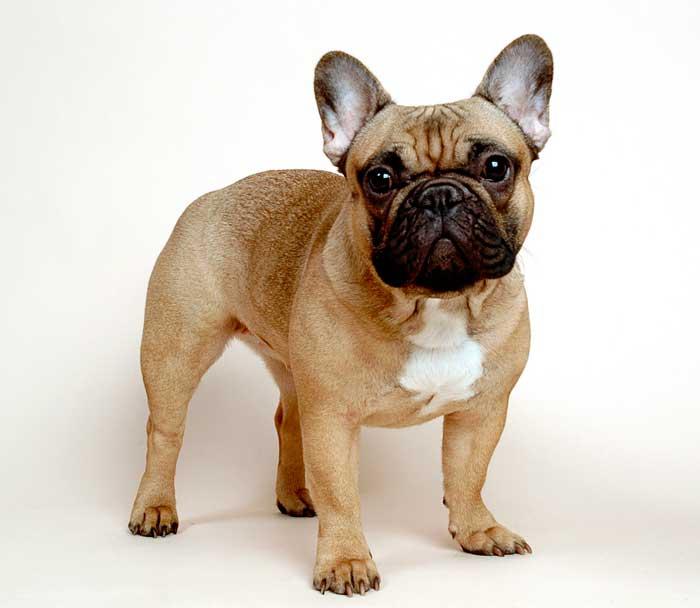 Взрослый французский бульдог весит 8-15 кг