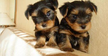 Выбираем щенка йокширского терьера