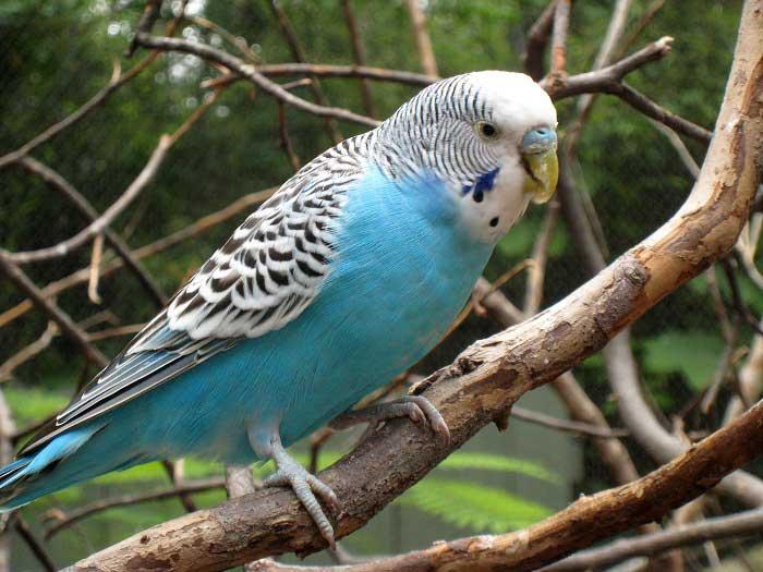Научить попугая говорить будет намного проще, если он освоится у вас в доме, будет вам доверять