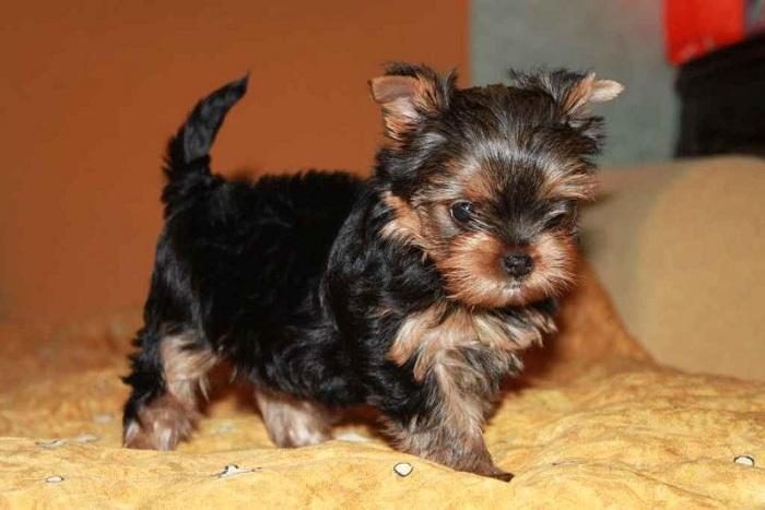 При покупке щенка внимательно ознакомьтесь с его родословной