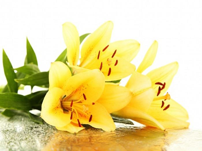 Самые популярные – это лилии желтоватого, красного и насыщенного оранжевого оттенков