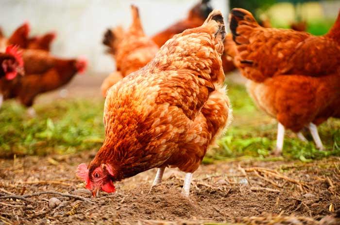 Весна - лучшее время для покупки курицы