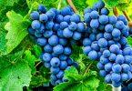 Выбираем виноград для посадки