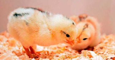 Выбираем цыплят бройлеров