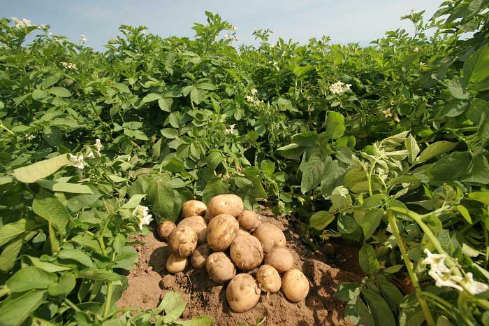 Лучшие картофельные сорта: посадка и уход
