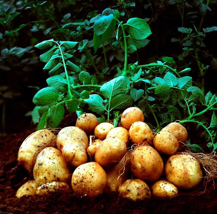 При выборе сорта картофеля нужно учитывать, пригоден ли он для выращивания в вашей климатической зоне