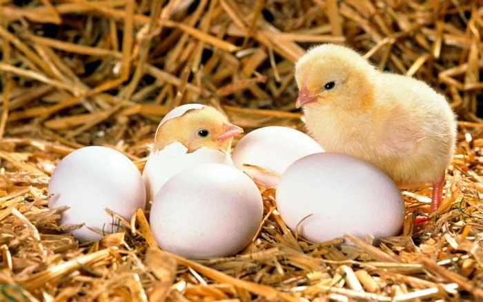 Рекомендуется покупать цыплят на птицефабриках
