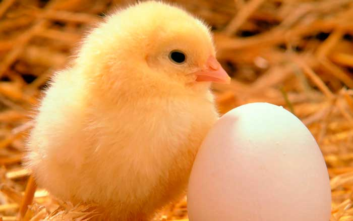 Цыпленок-бройлер быстро растет и развивается