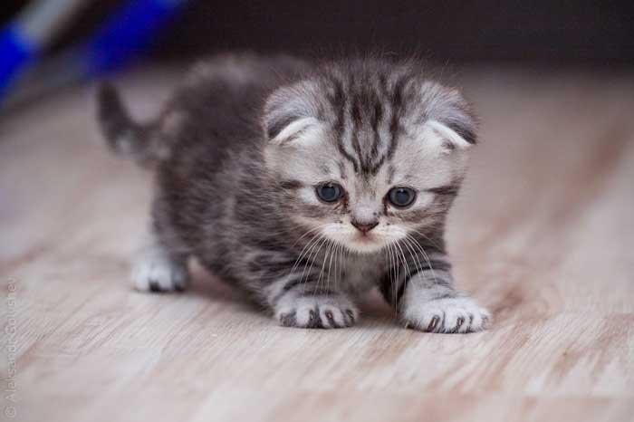 Шотландские вислоухие кошки любят, когда их расчесывают