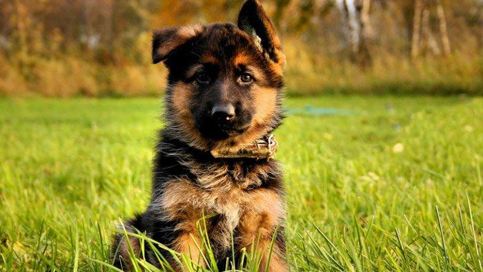 Выбираем щенка немецкой овчаркиВыбираем щенка немецкой овчарки