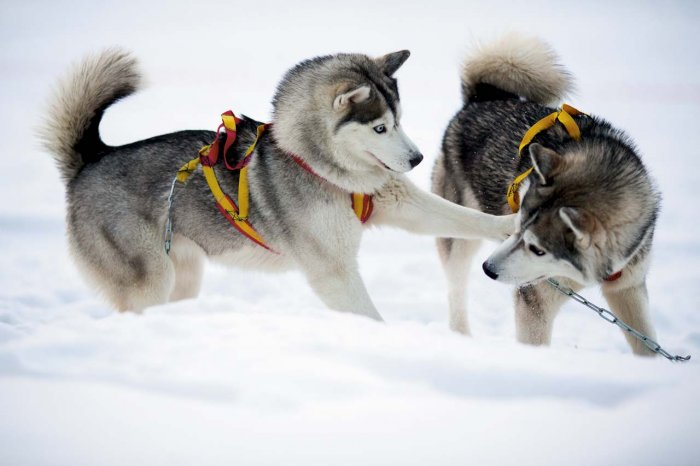 Здоровые щенки активно ползают по полу, пищат и играются друг с другом